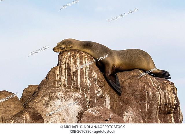 California sea lion, Zalophus californianus, hauled out on Los Islotes, Baja California Sur, Mexico