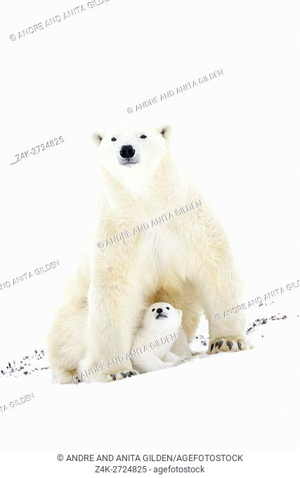 Polar bear mother (Ursus maritimus) getting up on tundra, with two new born cubs, Wapusk National Park, Manitoba, Canada