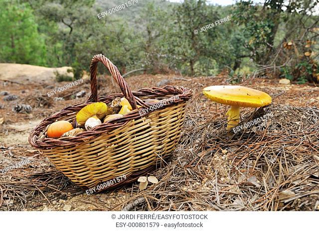 Caesar's Mushroom, oronja, reig amanita caesarea, edible