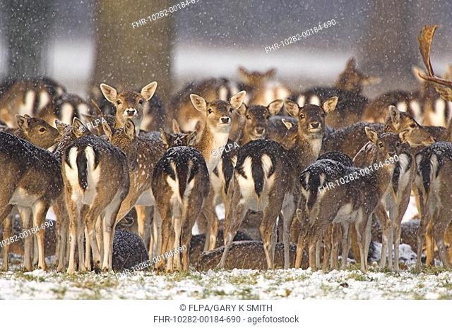 Fallow Deer Dama dama parkland herd huddled together in snowy conditions, Holkham Hall, Norfolk, England, december