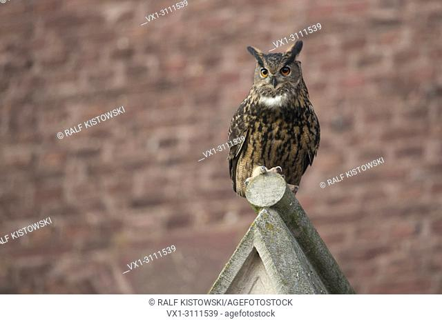 Eurasian Eagle Owl / Uhu ( Bubo bubo ) adult male, perched on top of a church gable, urban surrounding, watching, frontal view, wildlife, Europe