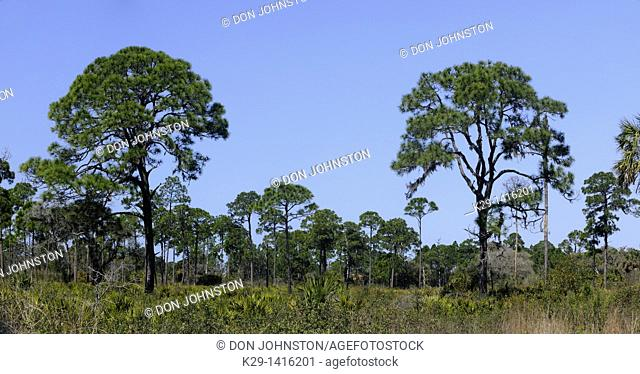Pine trees and palmettos in pine flatwoods ecosystem Oscar Scherer State Park Florida