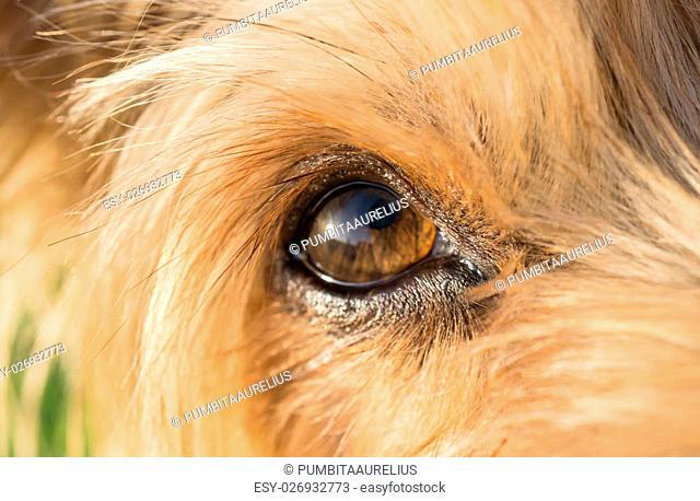 close-up of dog's eye macro detail, Yorkshire Terrier brown dog
