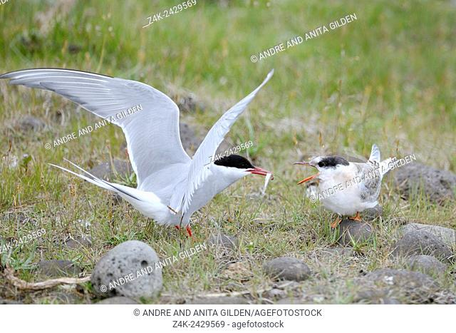 Arctic Tern (Sterna paradisaea) chicken calling for food, while adult is feeding it, Iceland