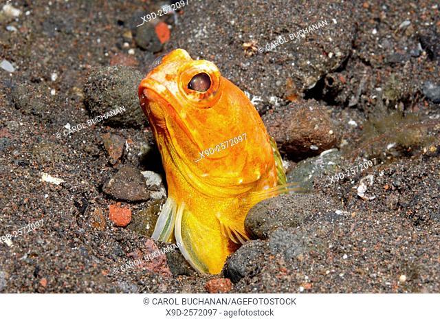 Variable Jawfish, Opistognathus variabilis. The females of this species turn orange during courtship. Tulamben, Bali, Indonesia