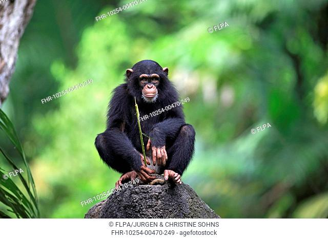 Central Chimpanzee (Pan troglodytes troglodytes) young, drinking, using stem as tool to soak up water from hole in rock (captive)