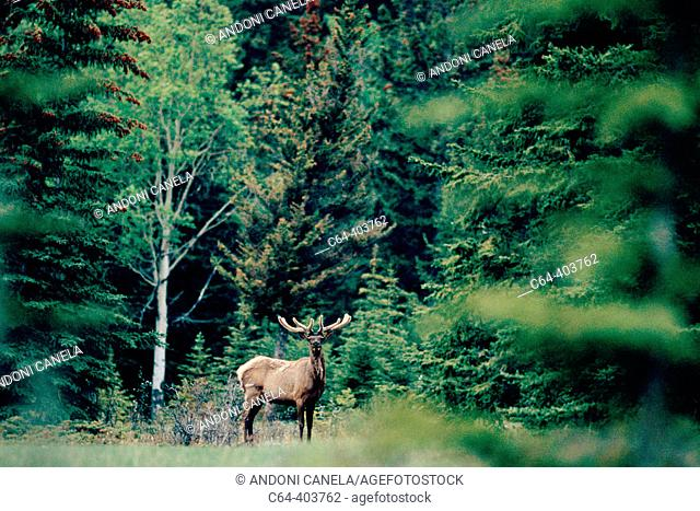 Elk deer (wapiti) (Cervus elaphus). Rocky Mountains. Banff and Jasper National Park. Canada