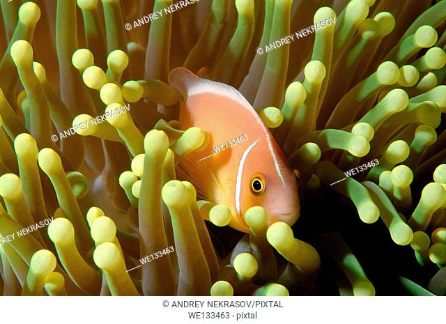 pink skunk clownfish or pink anemonefish (Amphiprion perideraion) Bohol Sea, Cebu, Philippines, Southeast Asia