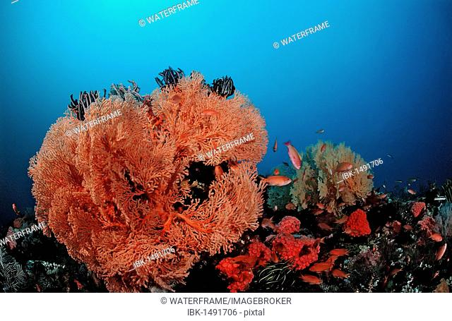 Coral reef with Sea-fans, Raja Ampat, Irian Jaya, West Papua, Indo-Pazific, Indonesia, Southeast Asia, Asia