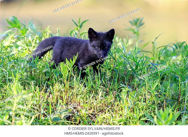 United States, Minnesota, Red Fox (Vulpes vulpes), young