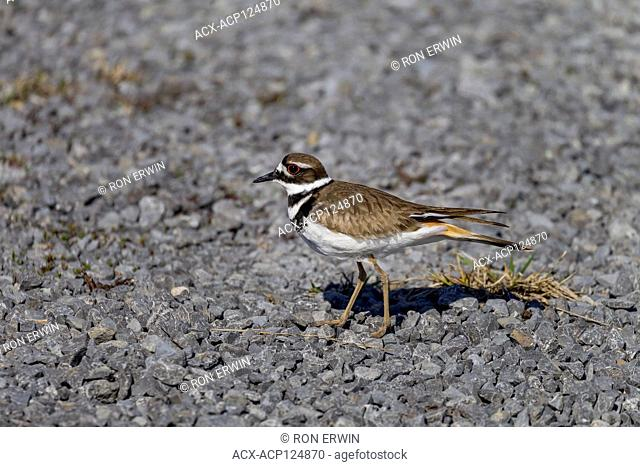 Adult Killdeer (Charadrius vociferus) in a parking lot on Wolfe Island, Ontario, Canada