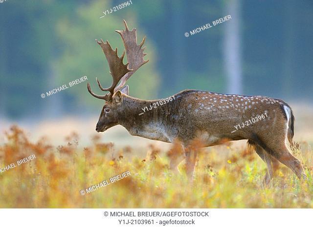 Fallow Deer in Autumn, Cervus dama, Hesse, Germany, Europe