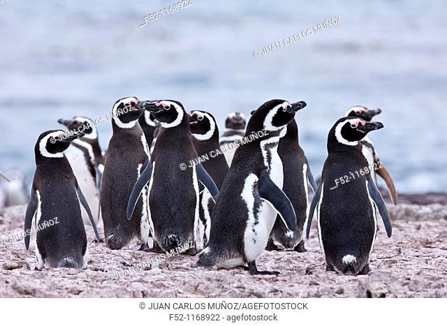 Magellanic Penguin (Spheniscus magellanicus), Penguin Island, Puerto Deseado, Patagonia, Argentina