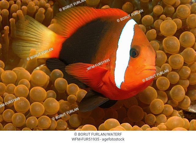 Tomato Clownfish, Amphiprion frenatus, Alor, Lesser Sunda Islands, Indo-Pacific, Indonesia
