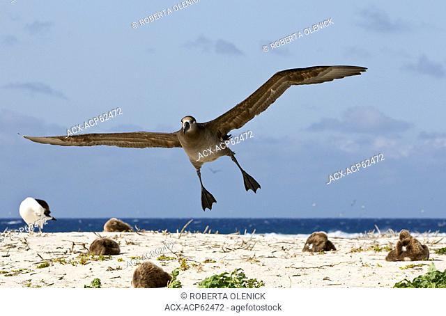 Black-footed albatross (Phoebastria nigripes), landing in nest colony, Sand Island, Midway Atoll National Wildlife Refuge, Northwest Hawaiian Islands
