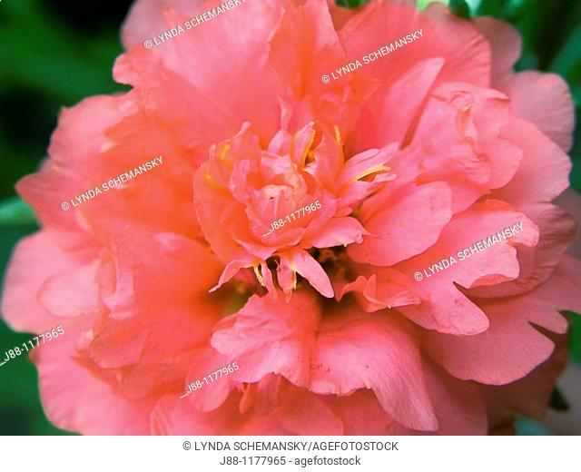 Moss rose flower - Portulaca grandiflora
