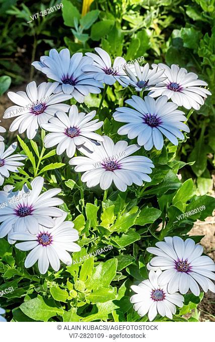 African Daisy / Osteospermum ecklonis 'Serenity White'