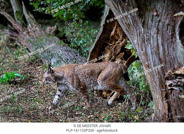 Hunting Eurasian lynx (Lynx lynx) showing camouflage colours in forest