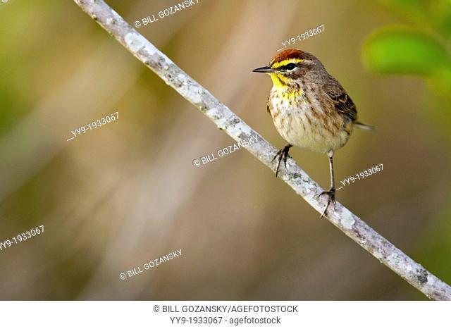 Palm Warbler - Green Cay Wetlands - Boynton Beach, Florida USA