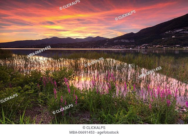 Sunset on Lake Pusiano from Bosisio Parini, Lythrum Salicaria in the foreground. Brianza, Lombardy, Italy, Europe