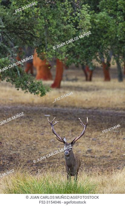 Berrea - Deer rut, Rutting period, RED DEER (Cervus elaphus), Cork oak forest, Mediterranean forest, Sierra de San Pedro, Cáceres, Extremadura, Spain, Europe