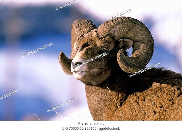 A close up portrait of a Bighorn Sheep with eye contact