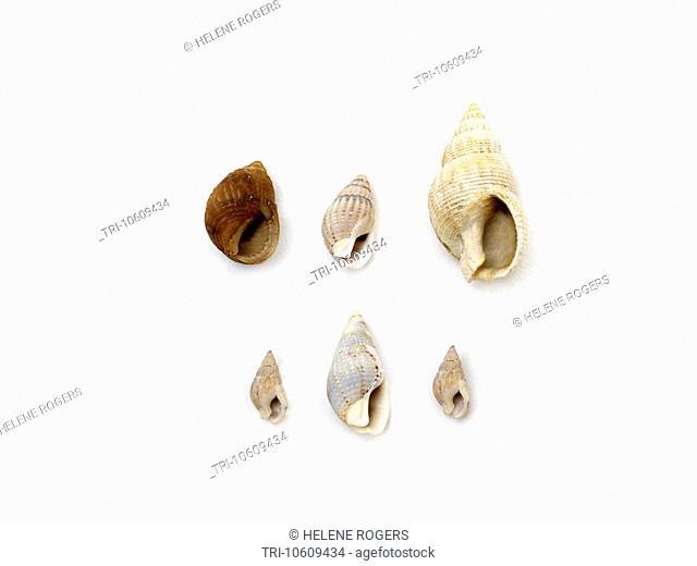 Gastropods Pear Shaped Shells
