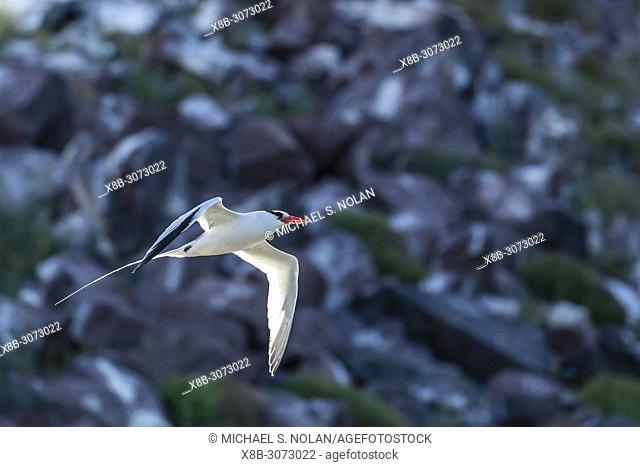 Adult red-billed tropicbird, Phaethon aethereus, Isla San Pedro Martir, Baja California, Mexico