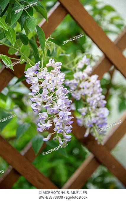 Kentucky Wisteria (Wisteria macrostachya 'Blue Moon', Wisteria macrostachya Blue Moon), cultivar Blue Moon, blooming