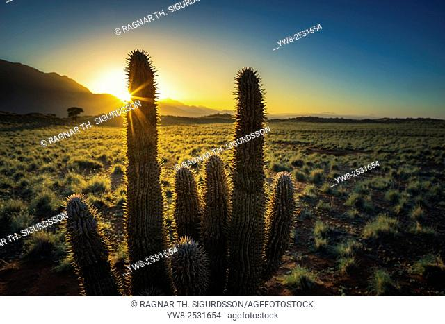Cacti at sunset, Wolwedans Dunes Lodge, Namibia, Africa