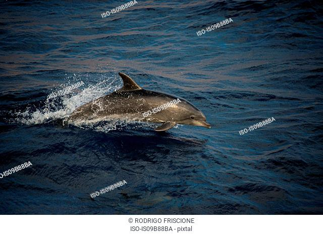 Bottlenose dolphins doing acrobatic jumps, Guadalupe, Mexico