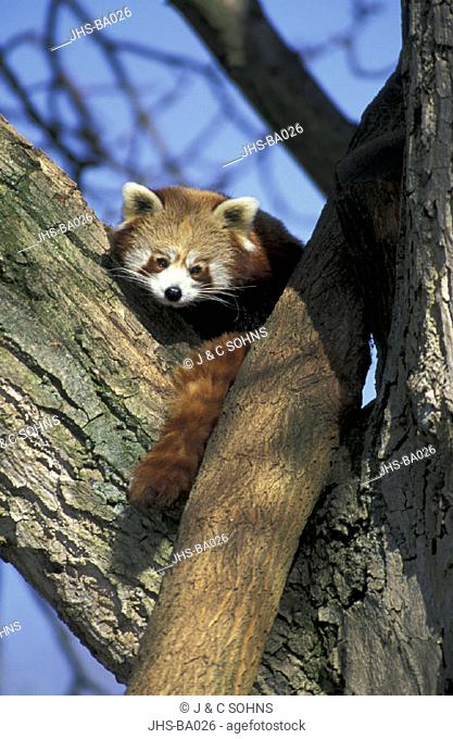 Red Panda Ailurus fulgens fulgens Asia , Adult on tree