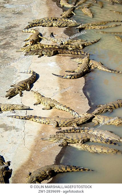 Group of Nile Crocodiles (Crocodylus niloticus), Agatha Crocodile Ranch, Agatha, Tzaneen district, Limpopo province, South Africa
