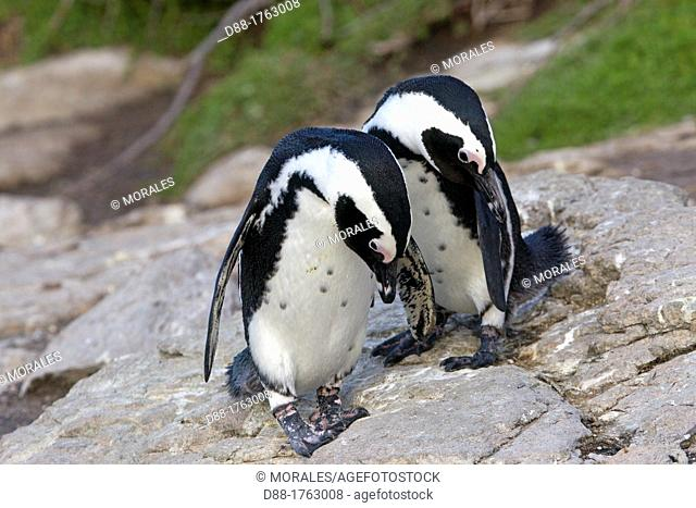 South Africa , Western Cape province , Betty's Bay , Stony Point , African Penguin or Black-footed Penguin or Jackass Penguin Spheniscus demersus