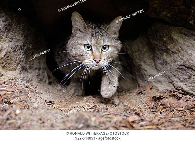 Felis silvestris, Common Wild Cat, Germany, captive, hole walking out