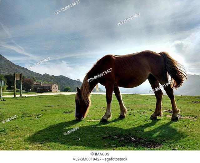Horse in Les Praeres, Sierra de Peñamayor, Nava municipality. Asturias, Spain