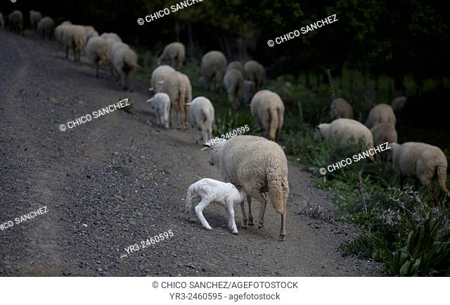 A lamb licks his mother in Prado del Rey, Sierra de Cadiz, Andalusia, Spain