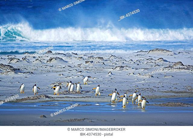 Gentoo Penguins (Pygoscelis papua papua), colony walking on beach, Falkland Islands, South Atlantic