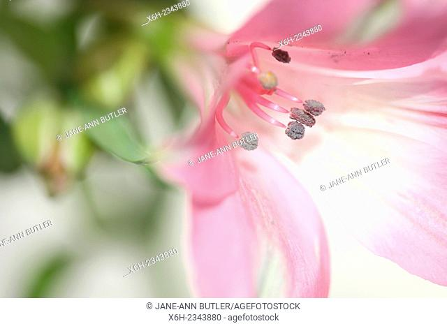 alstroemeria symbolizes friendship and devotion