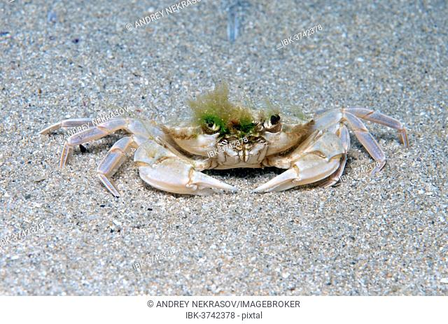 Swimming Crab (Macropipus holsatus), Black Sea, Crimea, Russia