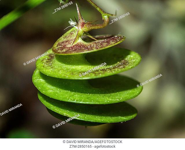 Medicago's helical fruit