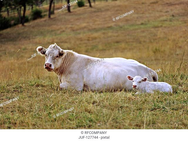 Charolais - cow with calf