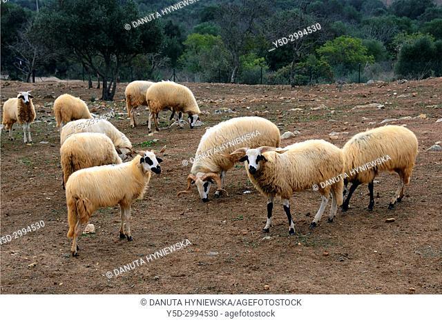 Sheeps on pastures, hills near Barão de São João, concelho Lagos, Western Algarve, Algarve, Southern Portugal, Portugal, Europe