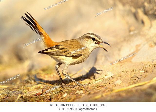 Kalahari Scrub-robin Cercotrichas paena, Mabuasehube, Kgakagadi Transfrontier Park, Kalahari desert, Botswana
