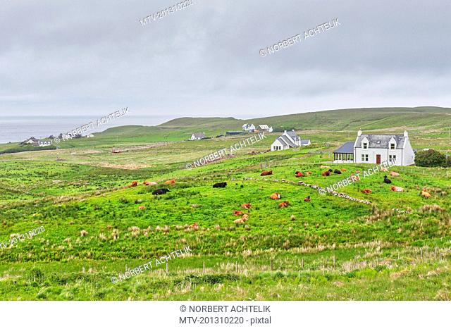 Cottage and cows on green landscape, Isle of Skye, Scotland