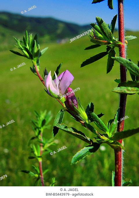 spiny restharrow (Ononis spinosa), blooming, Germany