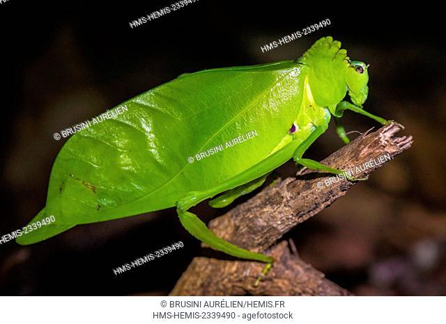 France, Guyana, French Guyana Amazonian Park, heart area, Camopi, leaf grasshopper on Mount Itoupe (830 m), the second summit of French Guyana