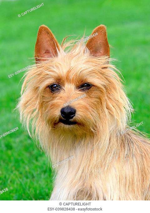 The portrait of Australian Terrier in summer garden