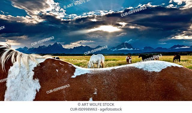 Horses, Teton Range, Grand Teton National Park, Wyoming