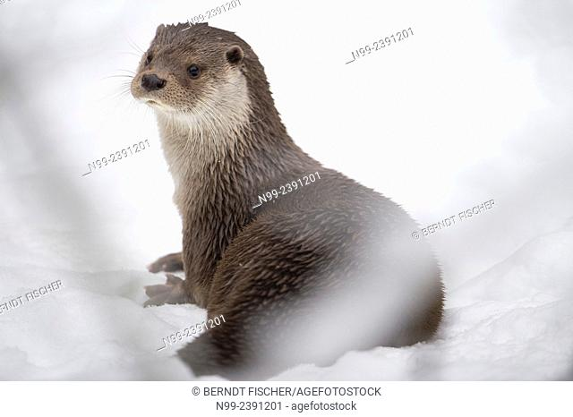 Otter (Lutra lutra), sitting in snow, National Park Bayerischer Wald, Bavaria, Germany